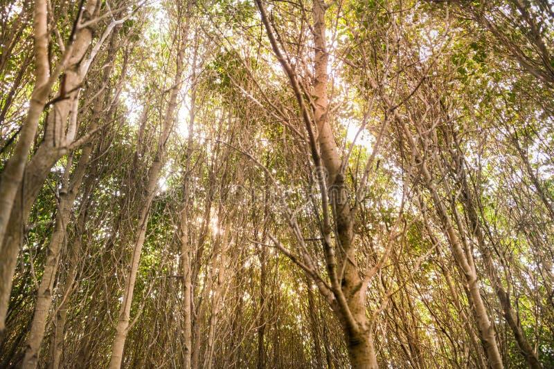Mangrove woud onder het gele licht royalty-vrije stock afbeelding