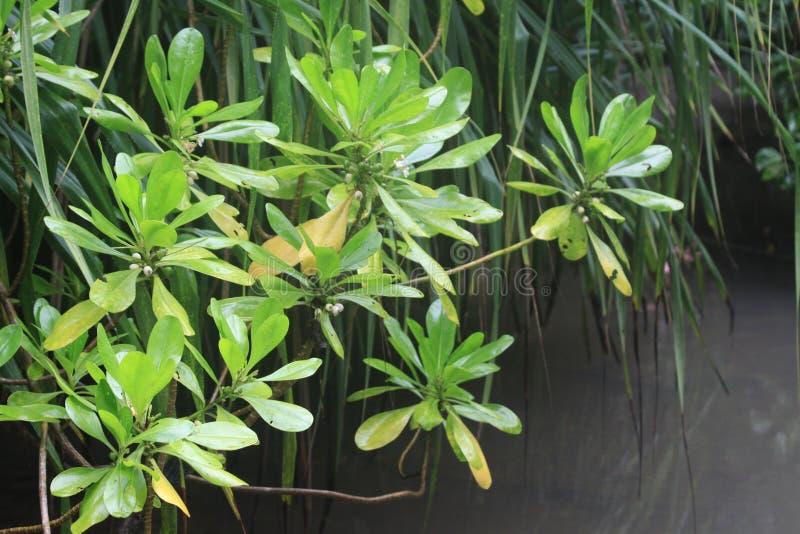 Mangrovebladeren en Tropische Vegetatie stock foto
