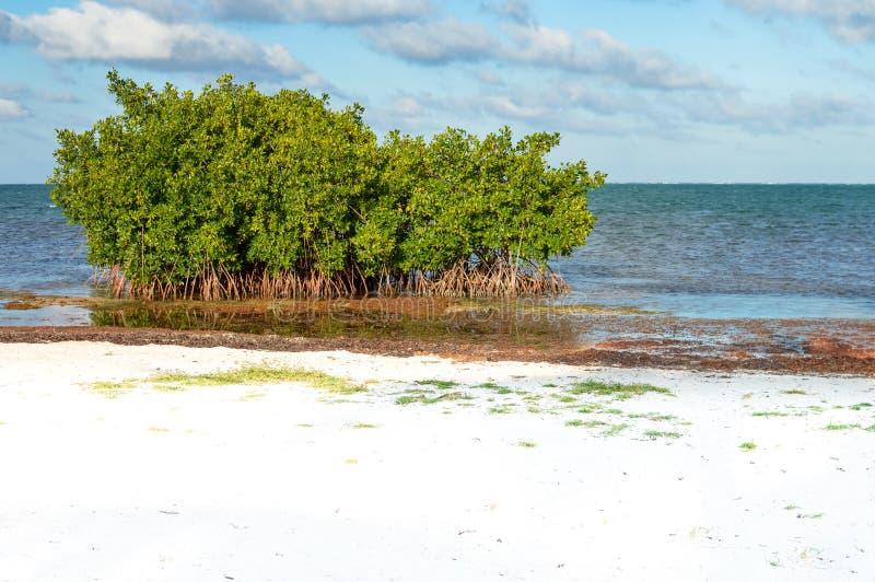 Mangrovebomen en Sargasso-zeewier door het strand van Caye-Breeuwijzer stock foto
