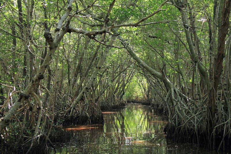 Mangrovebomen in het Nationale Park van Everglades stock foto