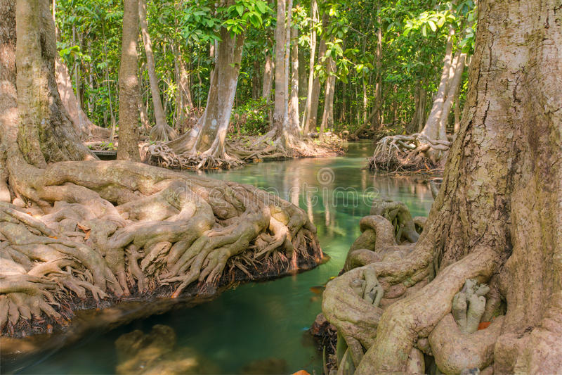 Mangrovebomen langs het turkooise groene water royalty-vrije stock foto