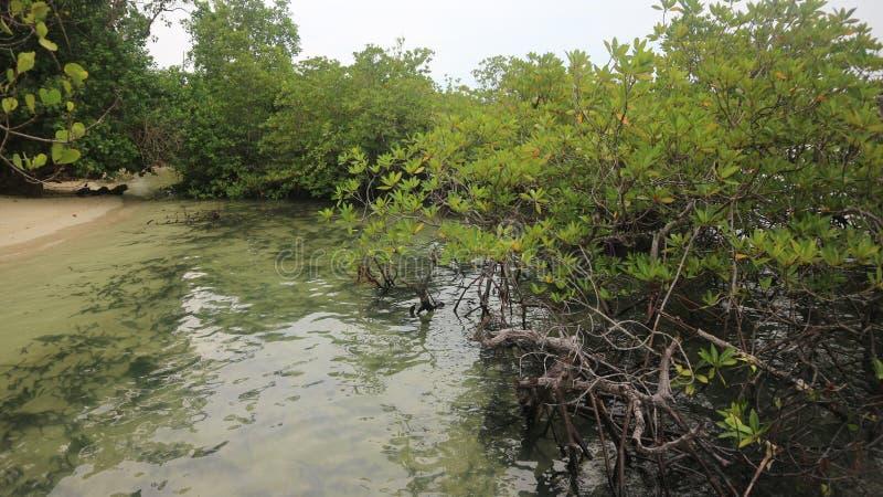 Mangroveboom in strand, groen landschap stock foto