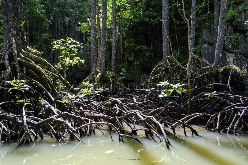 Mangroveboom van Sabang Palawan Filippijnen royalty-vrije stock afbeeldingen