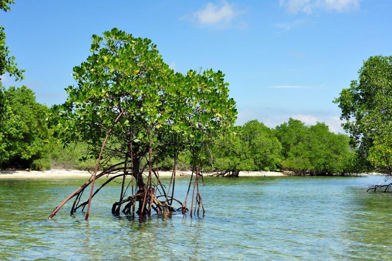 Mangrovebos en bomen in Nationale Park het West- van Bali Taman stock afbeeldingen