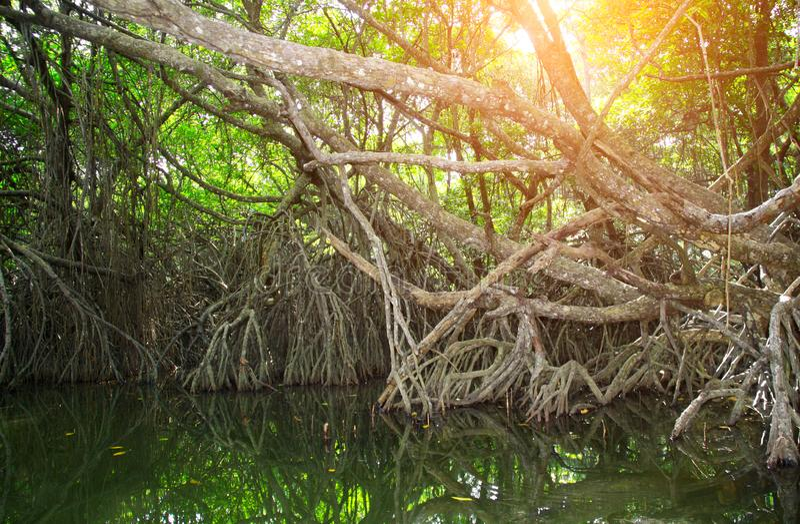 Mangrovebos, Sri Lanka, Azië royalty-vrije stock afbeeldingen