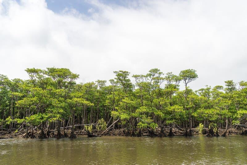 Mangrovebos van Nakama-Rivier stock afbeelding