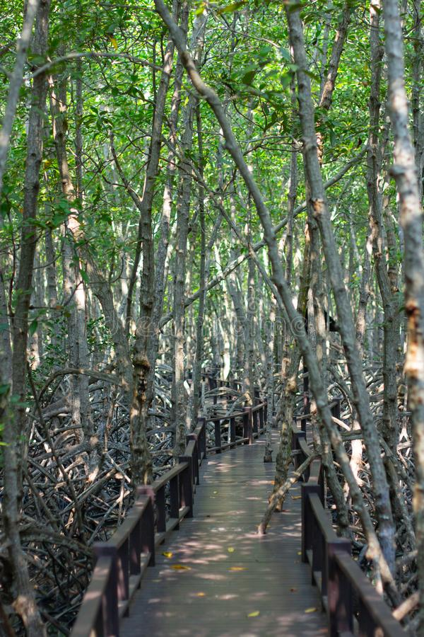 Mangrovebos, xylocarpusmoluccensis roem, meliaceaetype in brak water stock fotografie