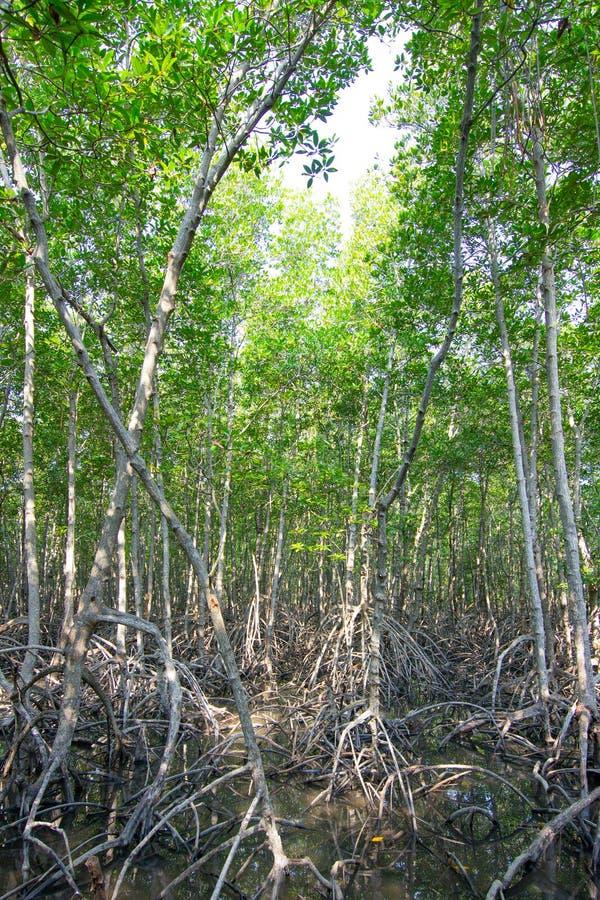 Mangrovebos, xylocarpusmoluccensis roem, meliaceaetype in brak water stock foto