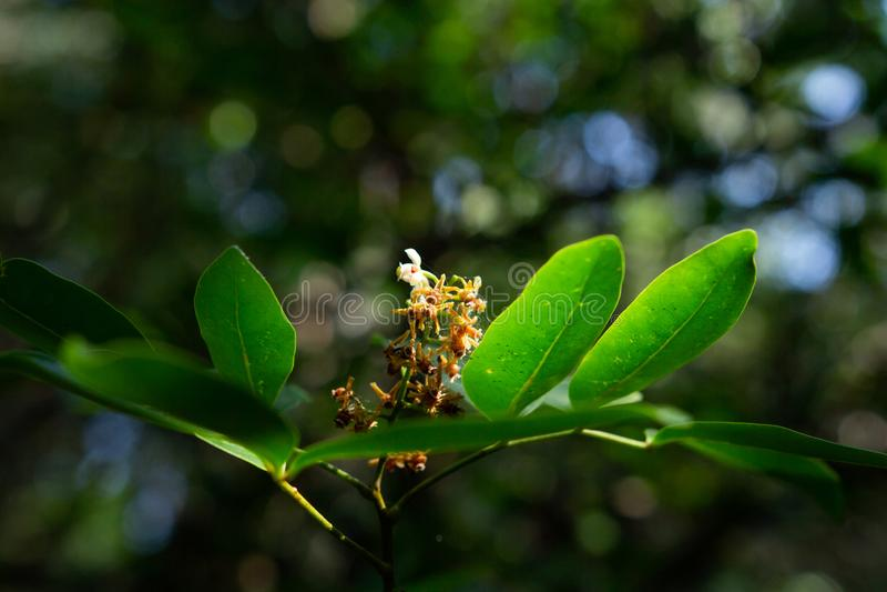 Mangrovebos, xylocarpusmoluccensis roem, meliaceaetype royalty-vrije stock afbeeldingen