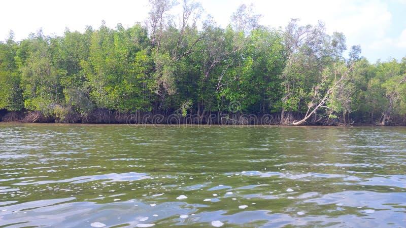 Mangrovebossen royalty-vrije stock fotografie
