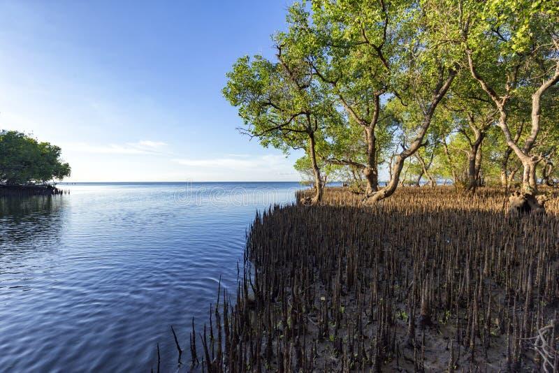 Mangrovebossen in Maumere, Flores royalty-vrije stock afbeelding