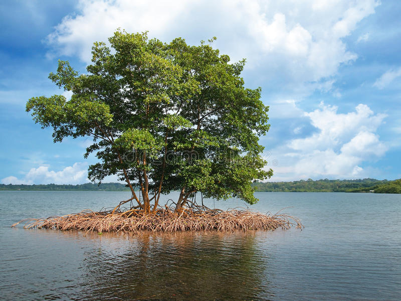 Mangroveholme i skärgården av Bocas del Toro arkivfoto