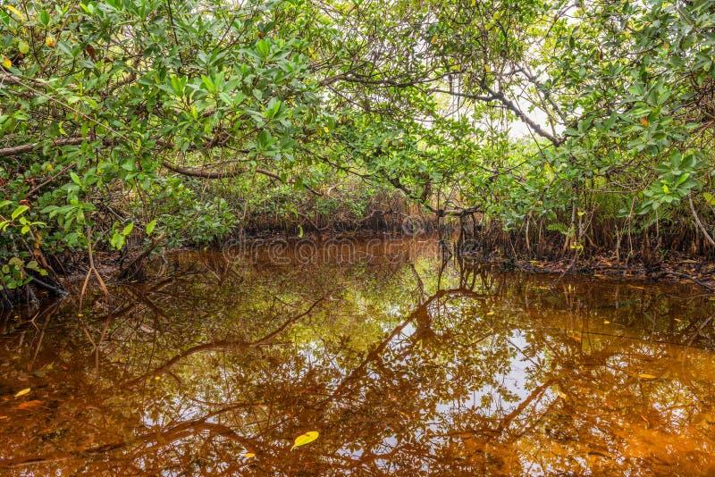 Mangrovemoeras stock afbeelding