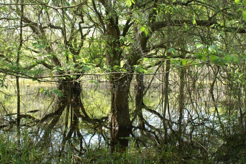 Mangroven stockbilder
