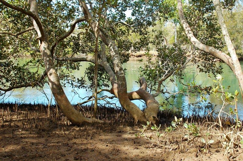 Download Mangroven stock foto. Afbeelding bestaande uit mangroven - 296528