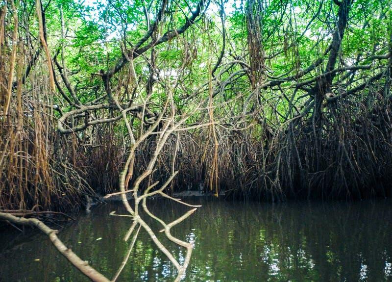 Mangroven in Bentota-rivier in Sri Lanka royalty-vrije stock afbeelding