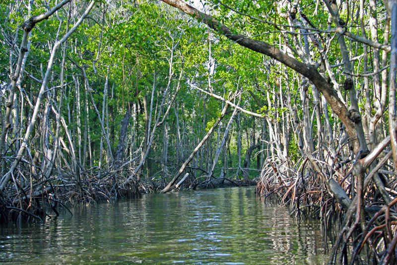 Mangroven Everglades royalty-vrije stock foto