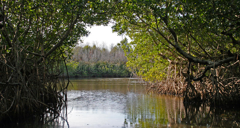 Mangroven Everglades royalty-vrije stock foto's