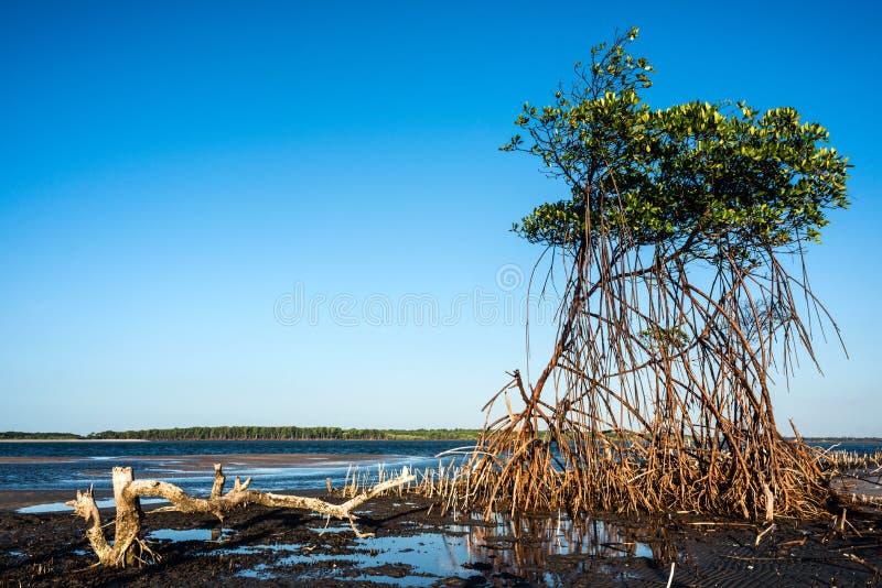 Mangroven op de rivier Rio Preguica, Brazilië royalty-vrije stock foto