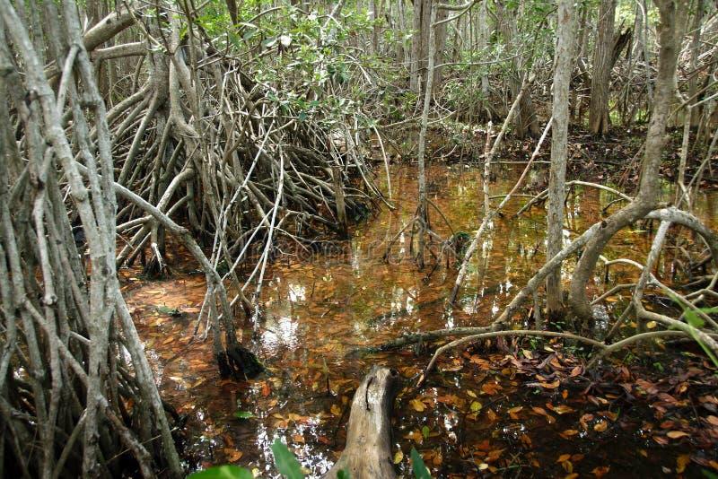 Mangroven in Progreso lizenzfreie stockfotografie