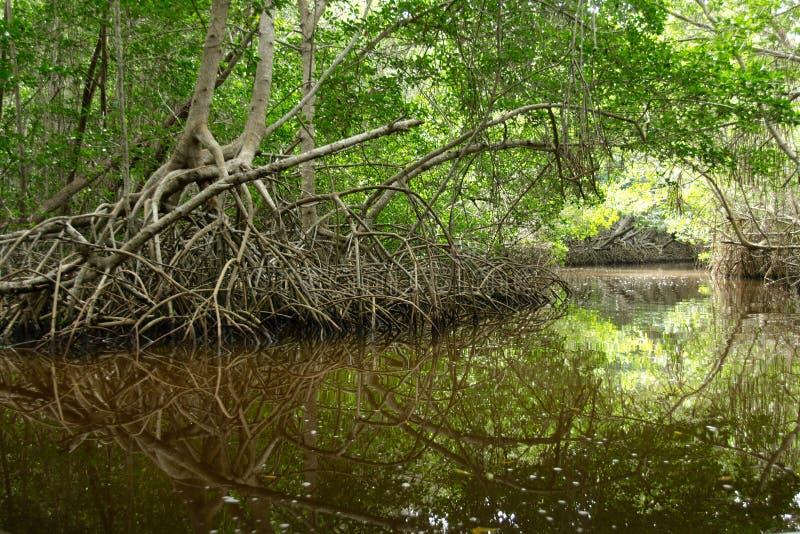 Mangroven in Progreso lizenzfreies stockfoto