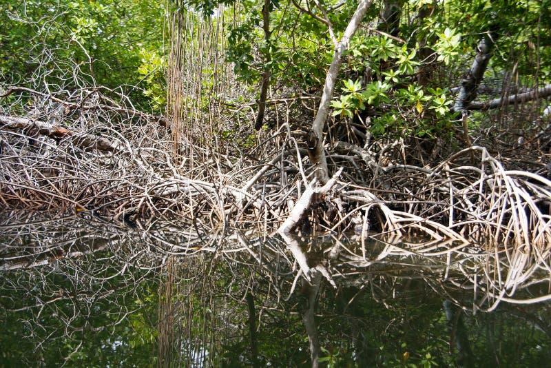 Mangroven rotar royaltyfria foton