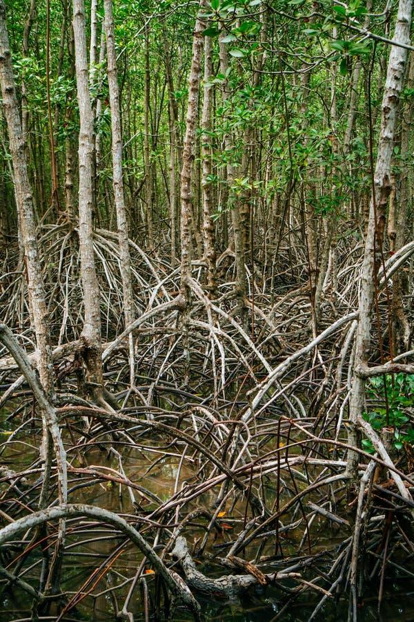 Mangroven rotar räckvidd in i grunt vatten i en skog som växer i t royaltyfri bild
