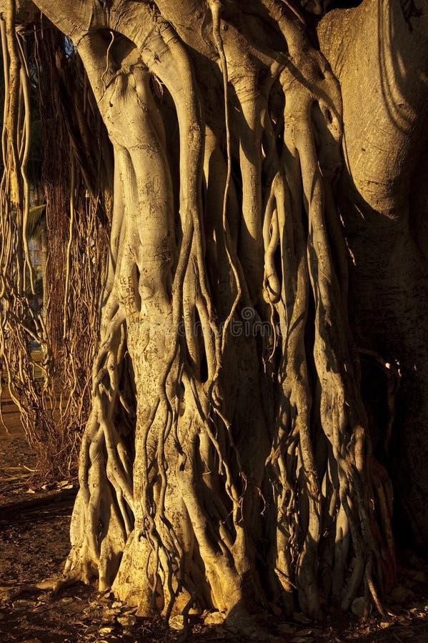 mangroven rotar treen royaltyfria bilder