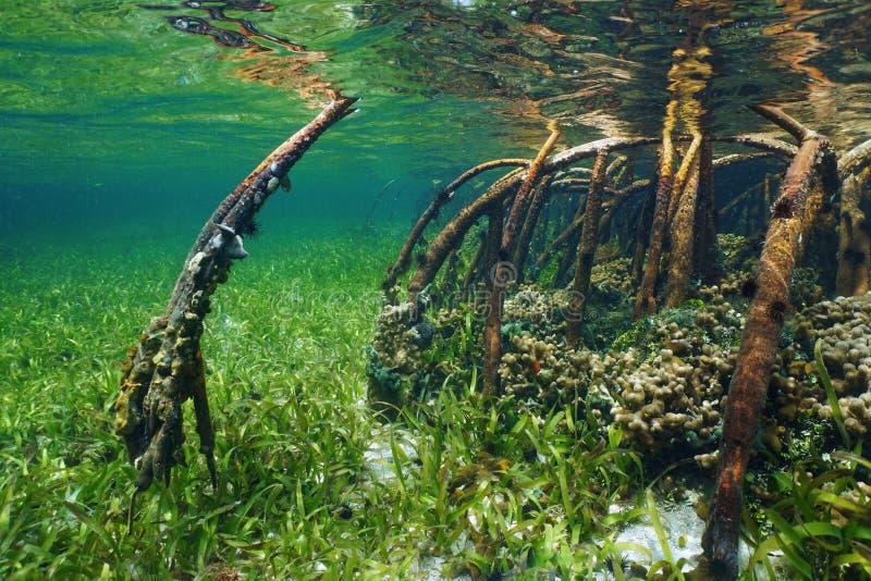 Mangroven som är undervattens- med havsliv i, rotar arkivbild