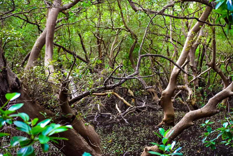 Mangroven-Wälder lizenzfreies stockbild