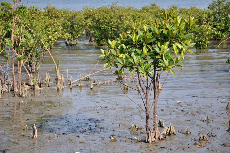 Mangroven-Wald stockbilder