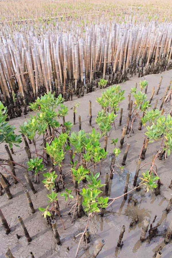 Mangrovenherbebossing in kust van Thailand stock afbeelding