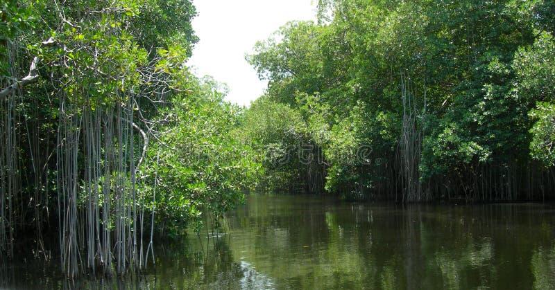 Mangrovensümpfe in schwarzem Fluss Jamaika lizenzfreies stockbild