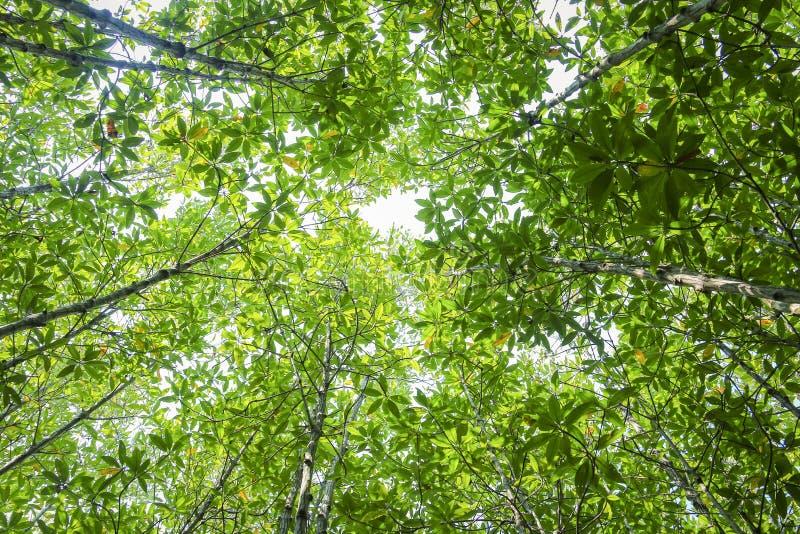 Mangrovenwald im Bezirk kann Gio - Vietnam stockfoto