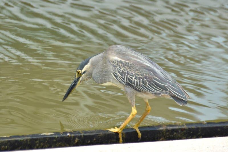 Mangrovereiger - Butorides-striata op de blik uit voor vissen royalty-vrije stock afbeeldingen