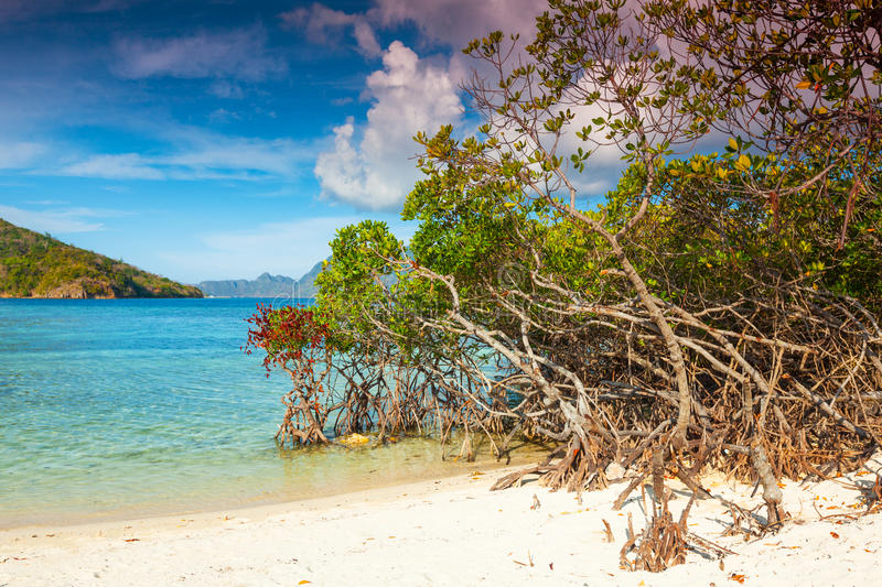 Download Mangroves stock photo. Image of foliage, tree, sandy - 25444480