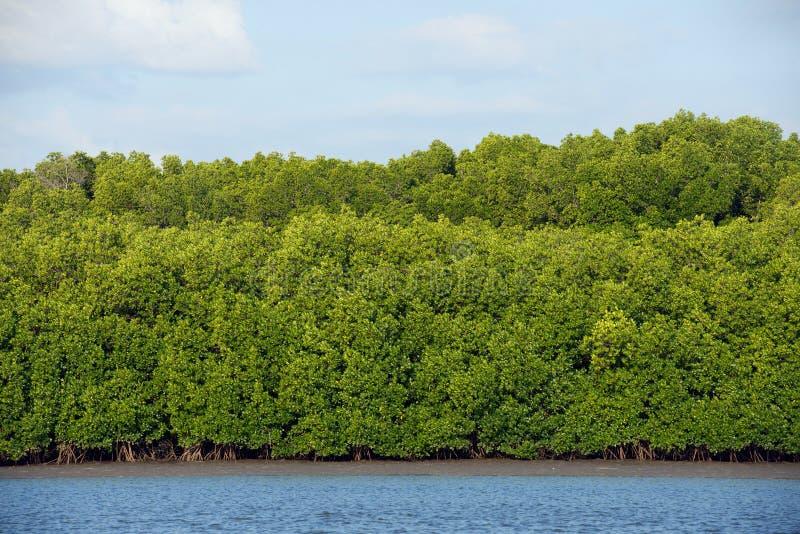 mangroves foto de stock