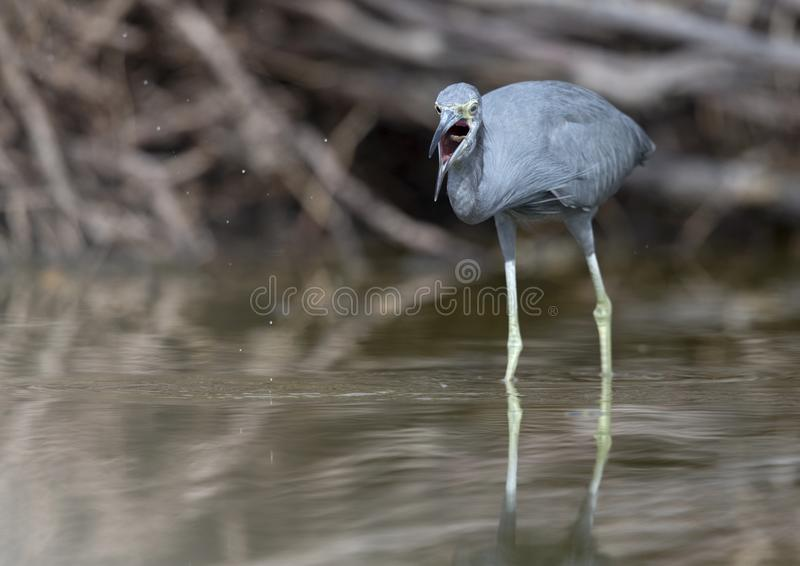 Little blue heron Egretta caerulea catching a fish that flies in its beak. stock images