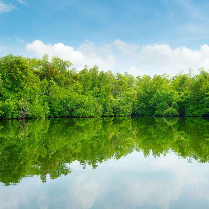 Download Mangroves and blue sky stock photo. Image of color, green - 39160600
