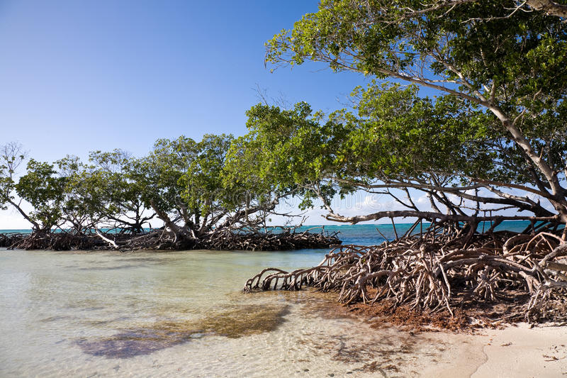 Mangroves, Cuba. A bunch of Mangrove trees on a beach in Cuba stock photography