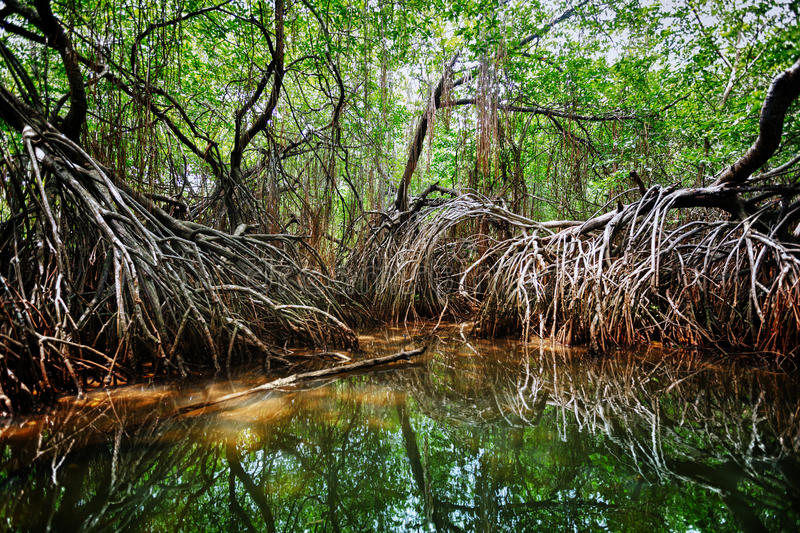 Mangroves in the delta of the tropical river. Sri Lanka stock images