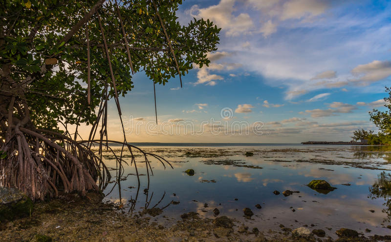 Mangroves drip into water off Key Largo, Florida near sunset stock image