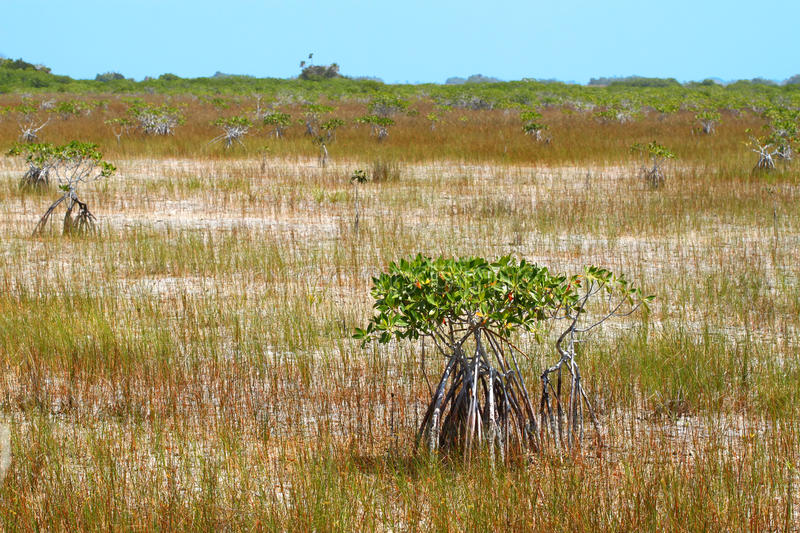 Mangroves in the Everglades royalty free stock images