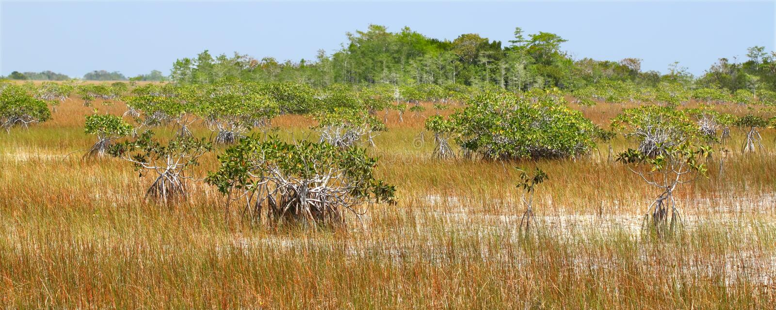 Mangroves in the Everglades stock images