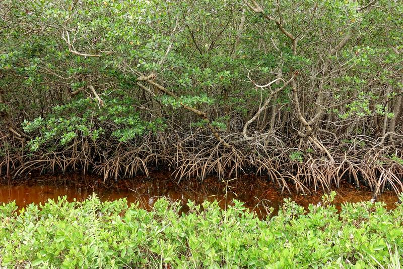 Mangroves growing in Florida royalty free stock image