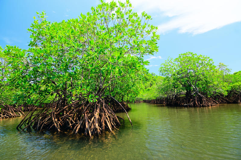 Mangroves at Guimaras Island, Philippines royalty free stock photo