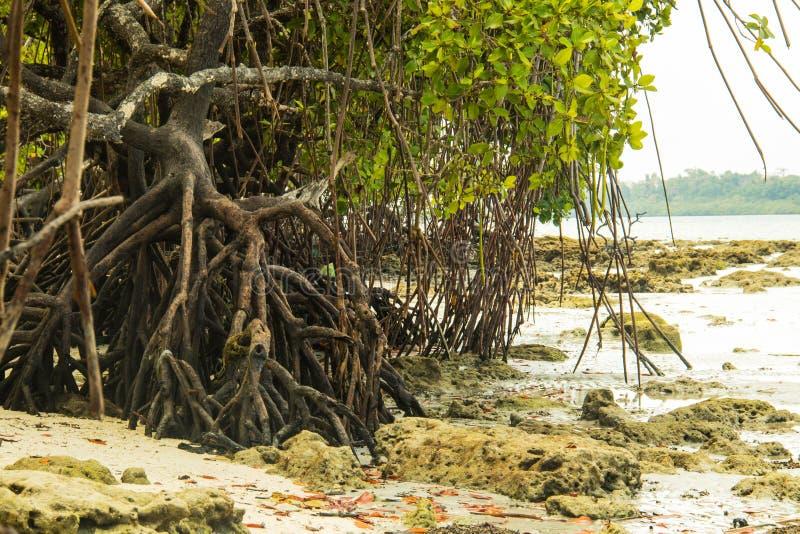 Mangroves at havelock Island stock image