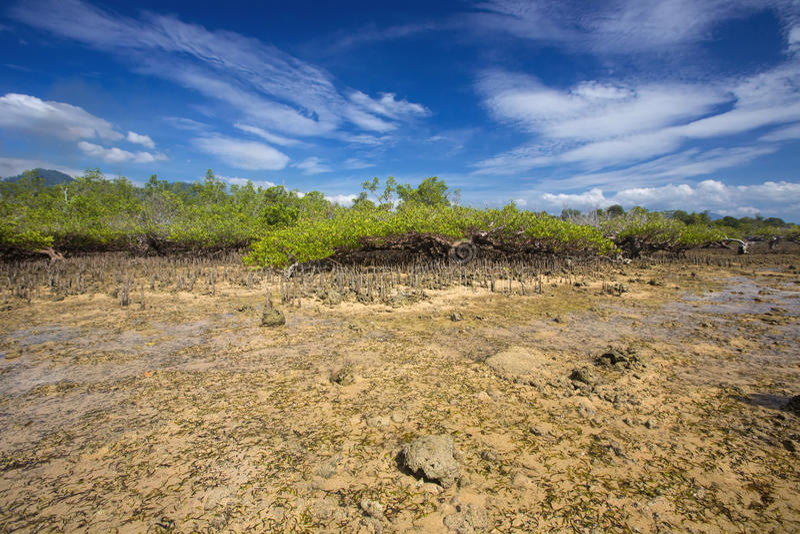 Mangroves at low tide, near Manado, Sulawesi,Indonesia stock photo