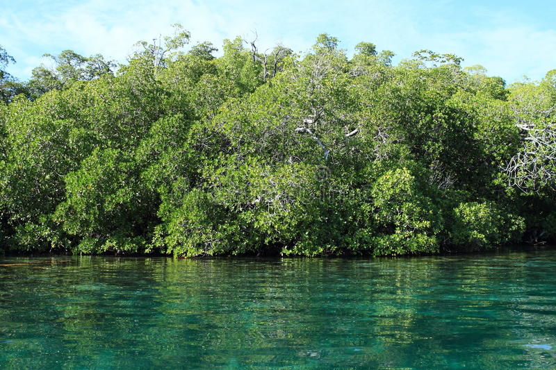 Mangroves. Mangrove trees in green sea with blue sky behind (Raja Ampat, Papua Barat, Indonesia royalty free stock image