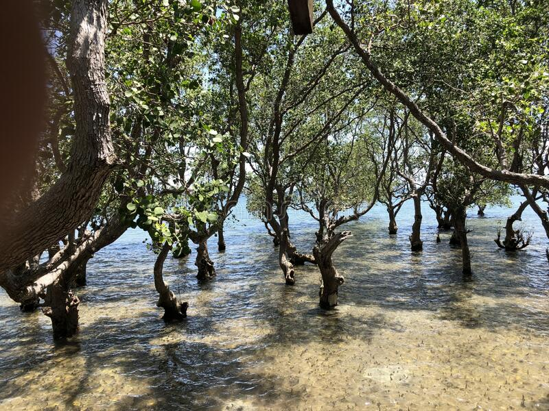 Mangroves Photo. Photo of Mangroves are a group of trees and shrubs that live in the coastal intertidal zone, taken in Tanjay, Negros Oriental, Philippines royalty free stock photos